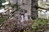 """""""Maternal""""<br /> <br /> Normally one would want all the eyes of the subjects showing and open. In this case, there is nary a one. But I felt like this photo showed the commitment that a bird parent invests in the nesting, incubating, and upbringing of their young. It is a great gray owl (Strix nebulosa) adult female looking particularly maternal with her two hungry young chicks. Taken in Yellowstone National Park, Wyoming, USA."""