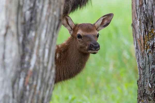 """Curious Already""<br /> <br /> A newborn elk (Cervus canadensis) calf peers out from between trees and its mother's neck. Taken in Yellowstone National Park, Wyoming, USA."