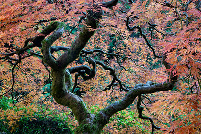 """That Tree,"" the Japanese maple (Acer palmatum) that beckoned to me to take a special trip into Portland. The tree and I needed to get intimately acquainted, and we sure did! Taken at the Portland Japanese Garden, Oregon, USA."