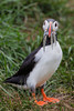 """""""Mouthful""""<br /> <br /> An Atlantic puffin (Fratercula arctica) with sand eels in its beak for its young. Taken at Borgarfjörður Eystri, East Iceland."""