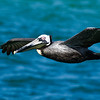Brown Pelican - Ft. DeSoto State Park, Florida
