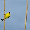 American Goldfinch - Delaware