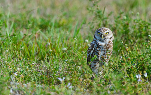 Adult Burrowing Owl - Cape Coral, Florida