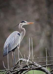 Great Blue Heron #2