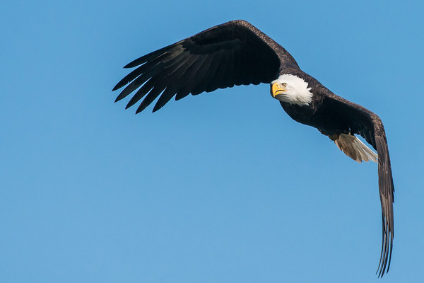 American Bald Eagle - Maryland