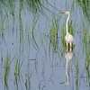 Great White Egret - Bombay Hook National Wildlife Refuge, Delaware