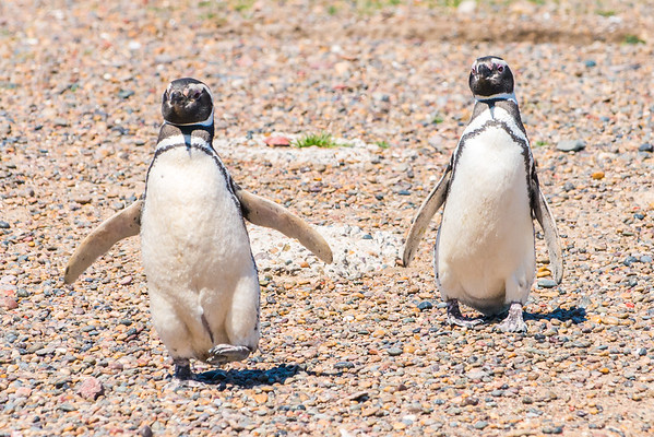 Megallanic Penguin pair