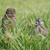 Burrowing Owl Mother and Chick - Cape Coral, Florida