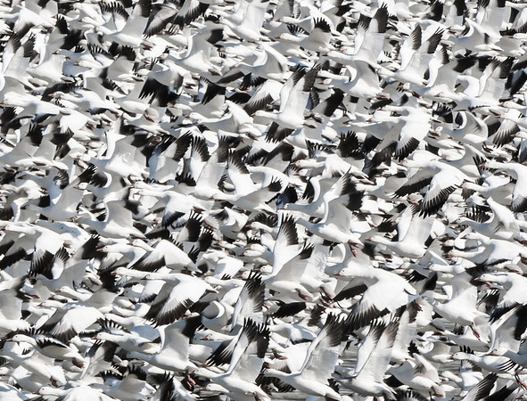 Snow Geese, Middle Creek Wildlife Management Area, Middle Creek, PA