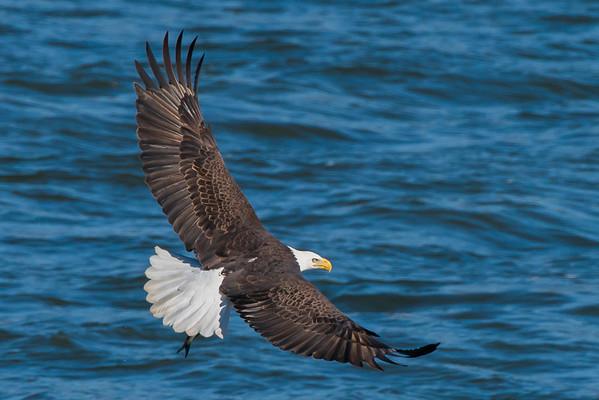 Bald Eagle with Fish - Conowingo, Maryland
