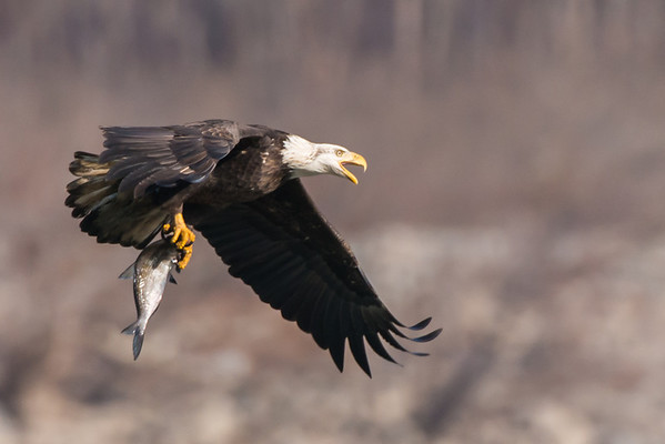 Bald Eagle with Fish - Conowingo, Maryland