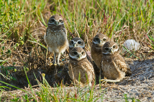 Burrowing Owl Fledglings - Cape Coral, Florida