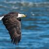 Bald Eagle - Conowingo, Maryland