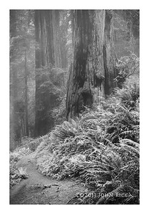 North Coast Redwood Forest 6