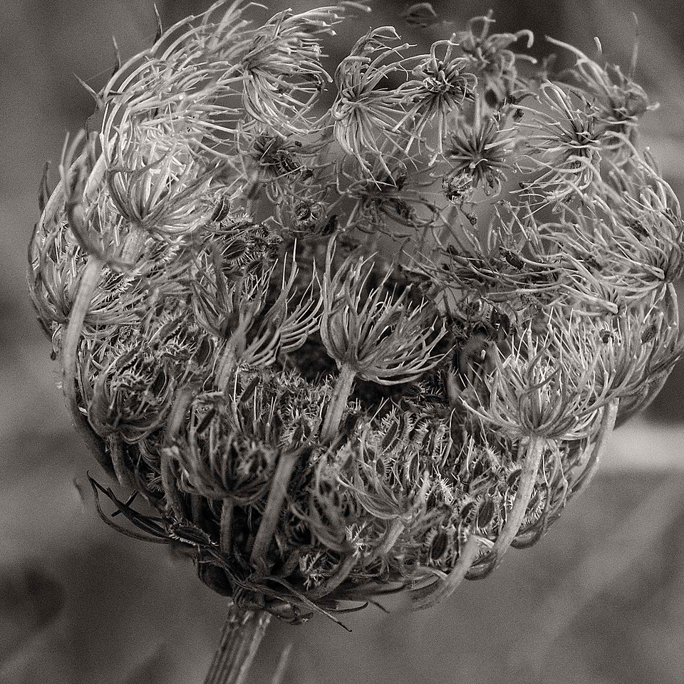 Dried flower pod, near Walla Walla, Washington