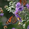 Monarch Butterfly, Cape May, NJ