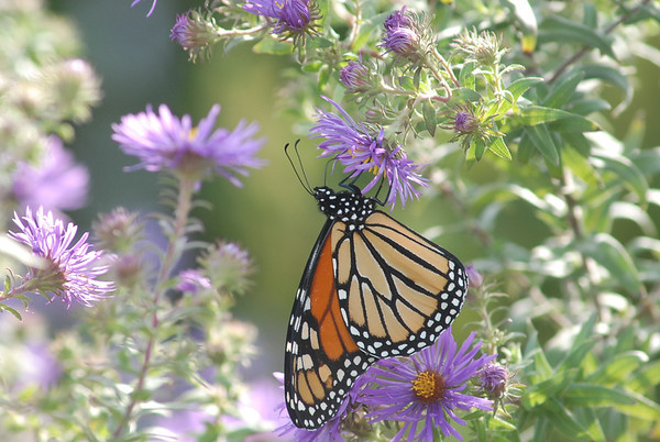 Monarch Butterfly, Cape May, NJ