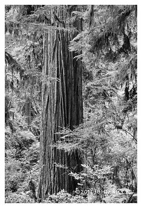 Shy Redwood