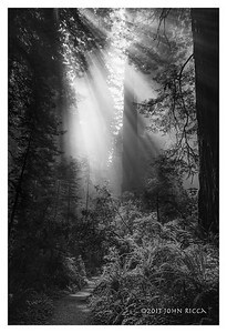 North Coast Redwood Forest 2