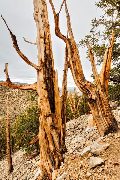 Bristlecone pines (Pinus longaeva). Taken in the Ancient Bristlecone Pine Forest, California, USA.