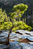 A pine tree grows out of the hexagonal-shaped columns of basalt. Taken at Devils Postpile National Monument, California, USA.