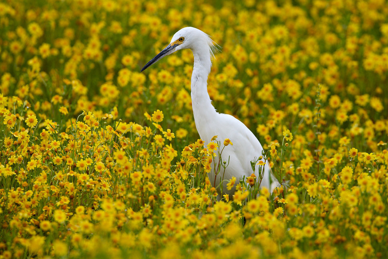 """""""Snowy Egret in Wildflowers""""<br /> <br /> A snowy egret (Egretta thula) makes its way through a flooded field of wildflowers known as goldfield (Lasthenia californica). Taken after one of the wettest winters on record at the San Jacinto Wildlife Area of California. This image was shown in The Wildlife Experience Museum in Parker, Colorado. It was part of an exhibit about ecosystems called """"Where The Wild Things Live."""""""