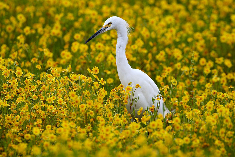 A snowy egret (Egretta thula) makes its way through a flooded field of wildflowers known as goldfield (Lasthenia californica). Taken after one of the wettest winters on record at the San Jacinto Wildlife Area of California.