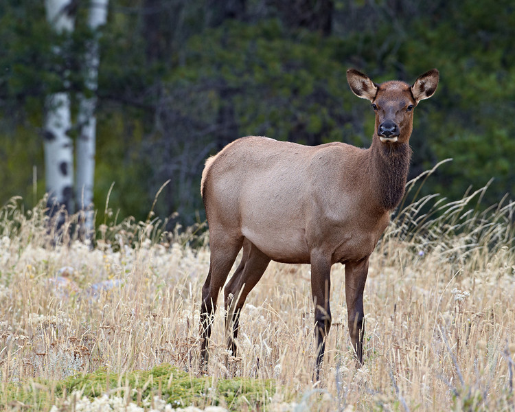 """Young Female Elk""<br /> <br /> Taken in Jasper National Park, Alberta, Canada."