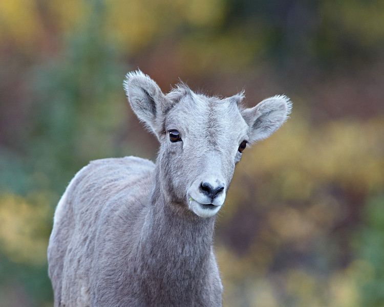 """Behold the Lamb""<br /> <br /> I cannot begin to tell you how much I love bighorns. And to find a baby in such lovely and unique surroundings, in gentle light? Well, I was ecstatic. Here is that bighorn sheep (Ovis canadensis) lamb amidst fall foliage in Kananaskis Country. Taken in Peter Lougheed Provincial Park, Alberta, Canada."