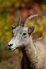 """Cover Girl""<br /> <br /> I left a little room at the top so she could appear on a magazine cover. ;) This is a bighorn sheep (Ovis canadensis) ewe amidst fall foliage in Kananaskis Country. Taken in Peter Lougheed Provincial Park, Alberta, Canada."