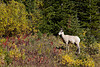 A bighorn sheep (Ovis canadensis) ewe amidst fall foliage in Kananaskis Country. Taken in Peter Lougheed Provincial Park, Alberta, Canada.