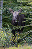 """Eating a Sprig""<br /> <br /> A moose (Alces alces) calf munches on foliage in the forest. Taken in Spray Valley Provincial Park, Alberta, Canada."