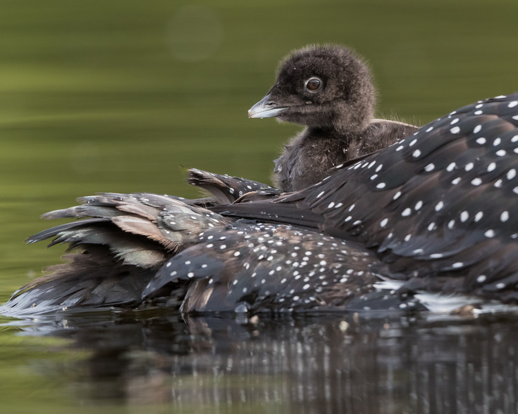 A common loon (Gavia immer) chick rides on its mother's back. Taken near Kamloops, British Columbia, Canada.