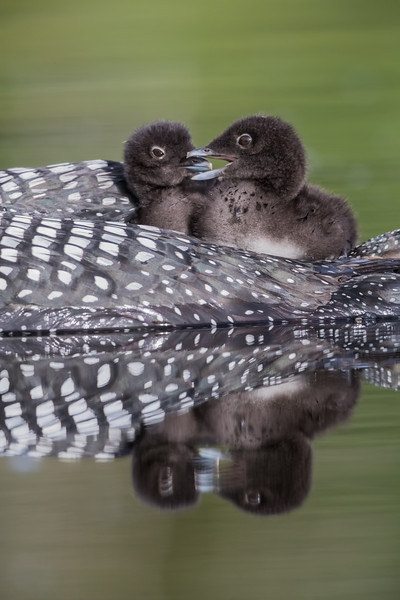 Two common loon (Gavia immer) chicks ride on their mother's back. Taken near Kamloops, British Columbia, Canada.