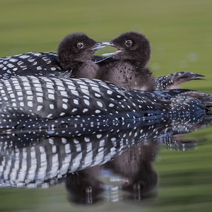 """Loon Siblings"""