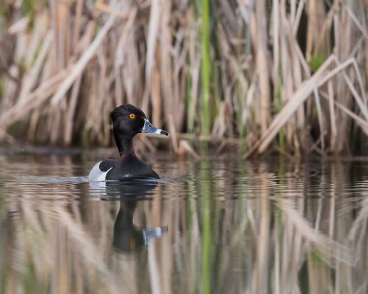 A ring-necked duck (Aythya collaris) in a marshy area on the edge of a lake. Taken from the kayak near Kamloops, British Columbia, Canada.