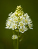 """""""Camas""""<br /> <br /> A death camas (Zigadenus venenosus) flower on Vancouver Island, British Columbia, Canada. The flower is named because its bulbs are highly poisonous."""