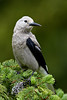 """Clark's Nutcracker in Spruce""<br /> <br /> I really enjoy these friendly characters.<br /> <br /> Taken in Manning Provincial Park, British Columbia, Canada."