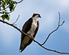 """Osprey Along the River Walk""<br /> <br /> Taken in Oliver, British Columbia, Canada."