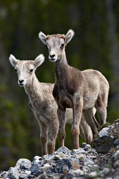 """""""Cousins""""<br /> <br /> I was sure excited to finally get to meet my first Stone sheep, a subspecies of Dall sheep. These are a very specialized kind of """"thinhorn"""" rather than a """"bighorn."""" But they're all related. These two newborns were in Muncho Lake Provincial Park in British Columbia, one of only a few places where they are found."""