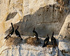 These are pelagic cormorants, nesting on Mandarte Island, near Sidney, Vancouver Island, British Columbia.