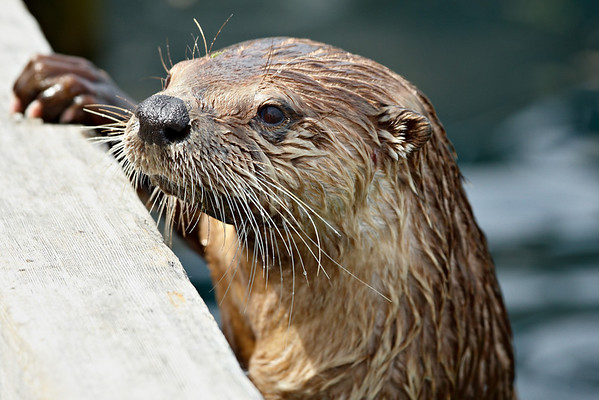 """""""His Middle Name is 'Mischief'""""<br /> <br /> A river otter hanging out at the dock in Victoria on Vancouver Island, BC. They have quite a reputation for getting into trouble, sometimes getting into people's boats and wreaking all sorts of havoc. I love 'em anyway."""