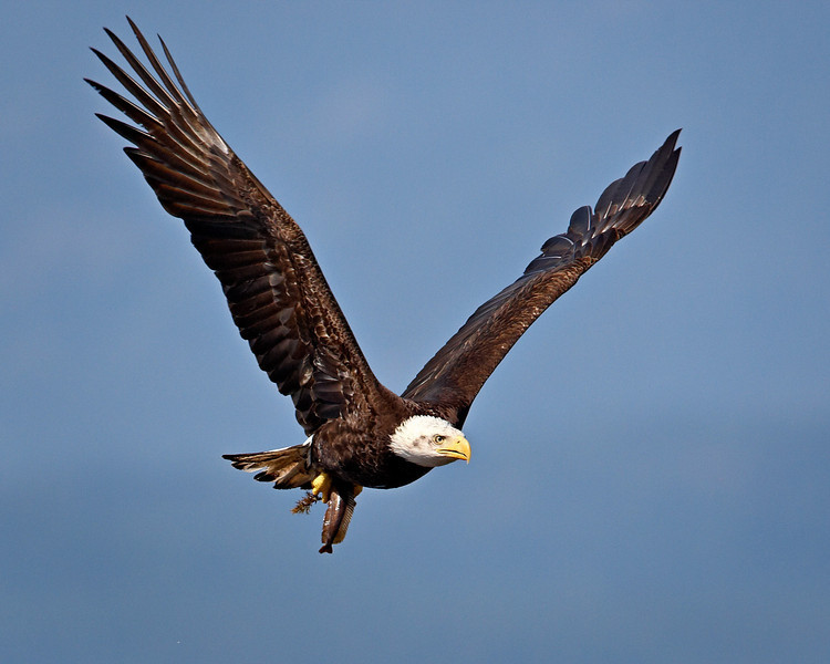 """""""Parksville Eagle With Catch""""<br /> <br /> There was a gathering of bald eagles at Parksville on Vancouver Island, British Columbia, Canada. This particular individual swooped down and plucked the fish out of the water and then took off with it. What an amazing experience."""