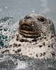 """Playful Harbor Seal""<br /> <br /> Taken at the Oak Bay Marina in Victoria, Vancouver Island, Canada."