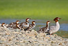 """Time To Get Moving""<br /> <br /> A common merganser with her chicks. Taken on Vancouver Island, British Columbia, Canada."