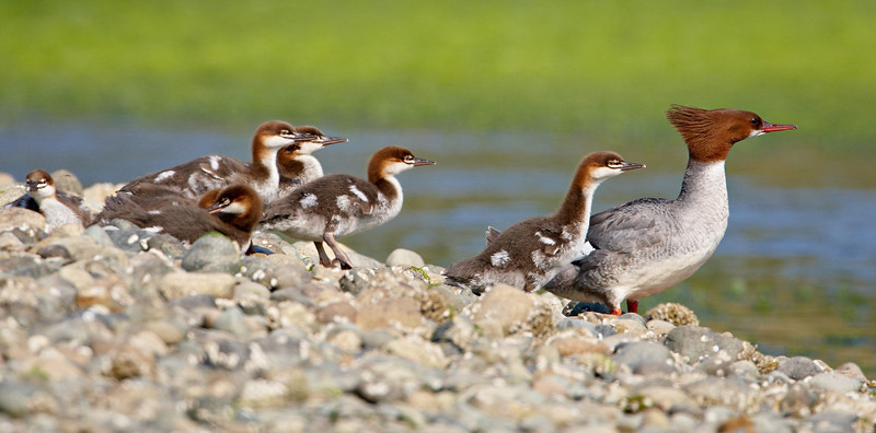 A common merganser with her chicks. Taken on Vancouver Island, British Columbia, Canada.