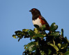 """Spotted Towhee in Victoria"""