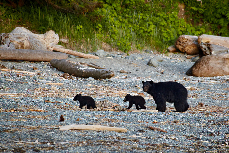 """Black Bear With Twin Cubs On the Beach""<br /> <br /> This mother bear was teaching her cubs to dig for clams on the beach.<br /> <br /> Taken in Pacific Rim National Park, on the west side of Vancouver Island, British Columbia."