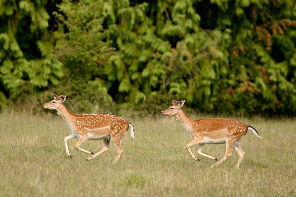 """Fallow Deer On the Run""<br /> <br /> Taken on Sidney Island, British Columbia, Canada."