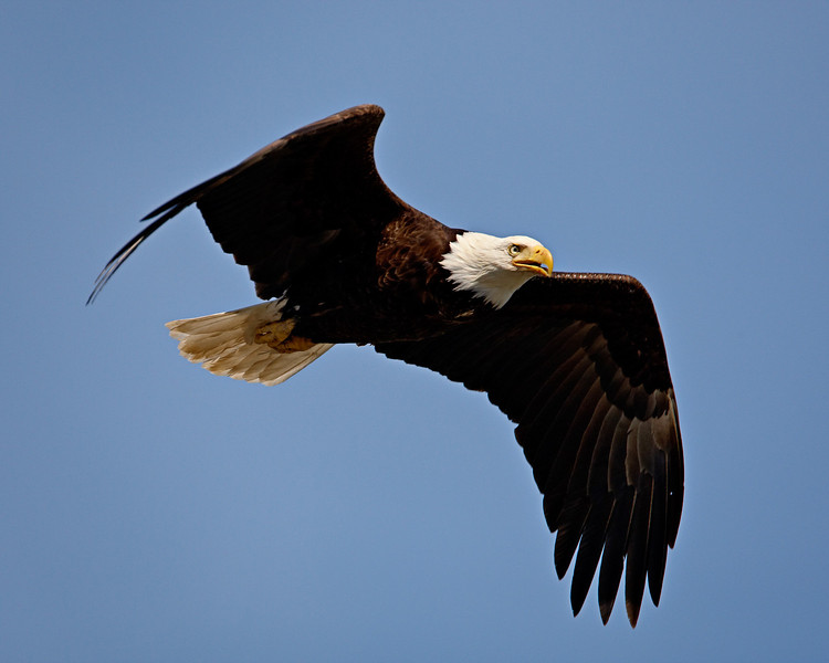"""""""Intent Eagle""""<br /> <br /> On his way to snag a fish on Vancouver Island, in Parksville, BC."""